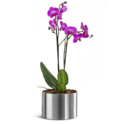 PHALAENOPSIS DOUBLE STEM PURPLE